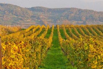 The vineyards in autumn