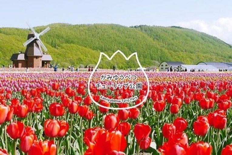 เทศกาลดอกทิวลิปที่ Kamiyubetsu