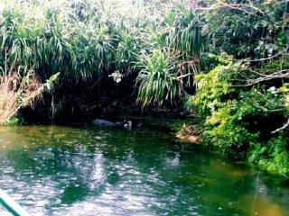 Ngắm nhìn những chú trâu nước tại khu bảo tồn dưới nước tại Vườn Bios no Oka ở Okinawa