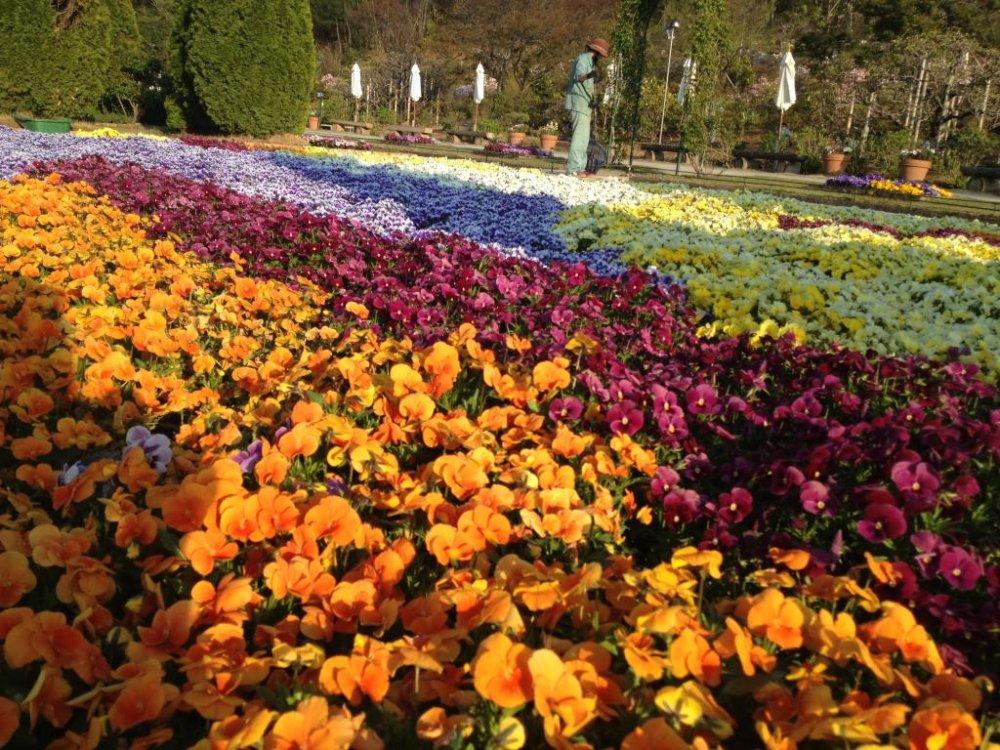 Hoa păng- xê vào buổi chiều đầy nắng