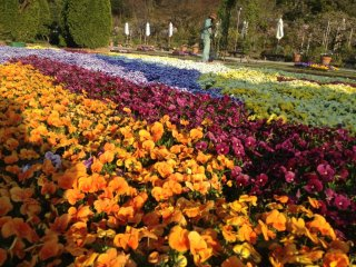 Pansies in the golden afternoon