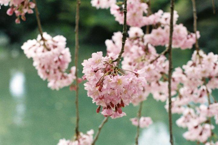 Hanami at Korakuen Garden