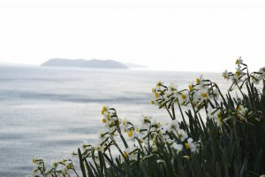 Daffodil flowers with Nushima island in the background