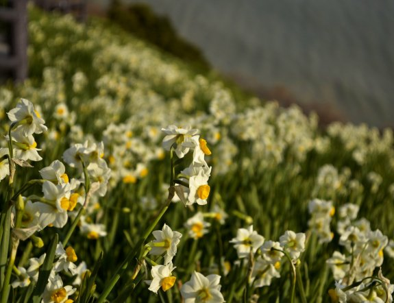 Nada-Kuroiwa Narcissus Field