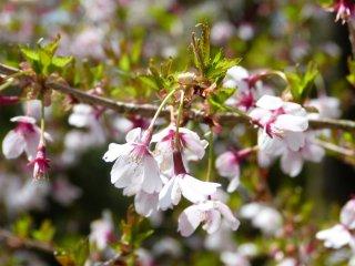 箱根に春を知らせる豆桜