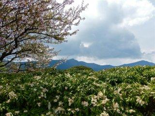 豆桜と馬酔木