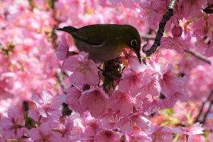 เมะจิโระเป็นนกกินน้ำหวานจากเกสรดอกไม้