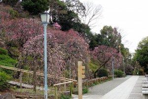 สวนพลัมอิเคะกะมิ ไบเอ็น มีพื้นที่ 8250 ตารางเมตร เป็นสวนที่มีต้นพลัมอยู่ประมาณ 370 ต้น 30 สายพันธ์