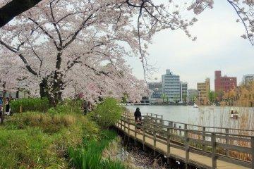 สวนเซ็นโซะคุอิเคะ (Senzokuike) ซึ่งมีต้นซากุระ 300 ต้น รายล้อมรอบสระน้ำ