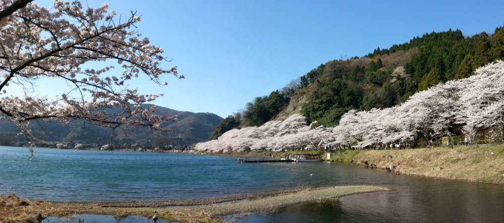 Cherry blossoms along the shoreline