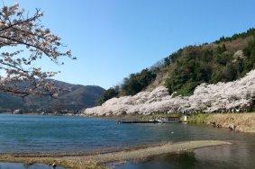 Цветение вишни в Кайдзу Осаки