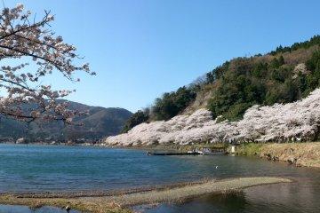 ดอกซากุระแห่ง Kaizu Osaki