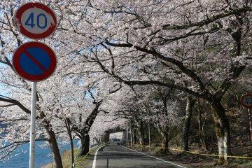 Туннель из цветущей вишни