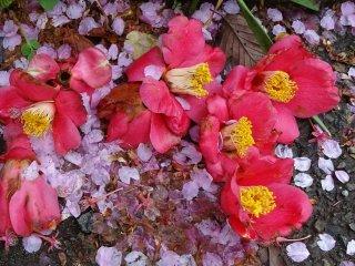 มีดอกอะเซลเรียมาแซม