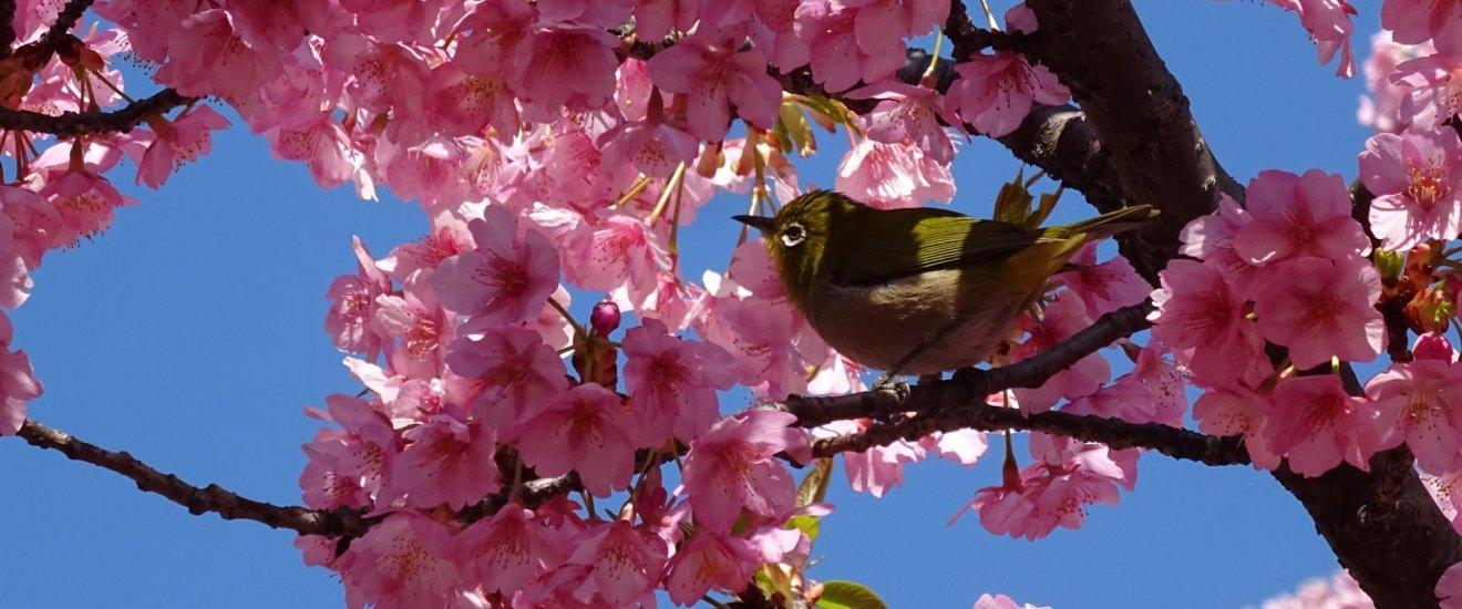 ซากุระพันธ์บานเร็วกับนกเมะจิโระ (mejiro) ที่สวนคิทะโนะมะรุ (Kitanomaru) เป็นสวนที่อยู่ในอาณาเขตสวนแห่งชาติโคะเคียวไกอัน (Kokyogaien National Gardens)