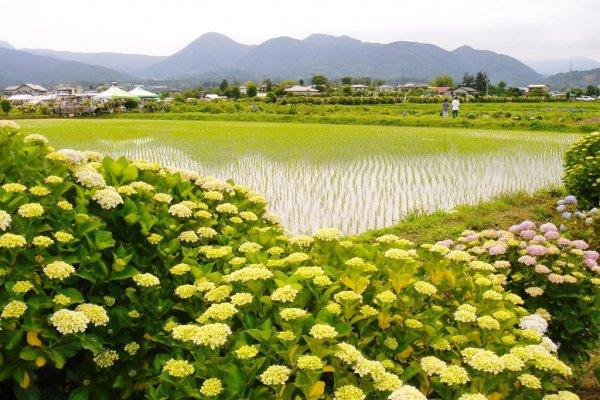 Ajisai (hortensia), rizières, et montagnes