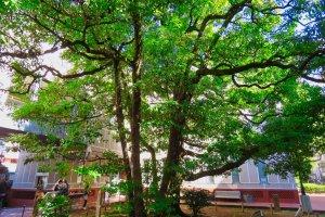 Camphor tree at the Yokohama Archives Museum
