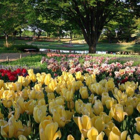 Lễ hội hoa công viên Showa Kinen