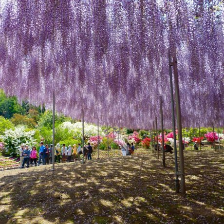 Ashikaga Flower Park in May - Part 1