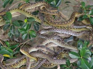 About a dozen Habu snakes rest on a tree branch