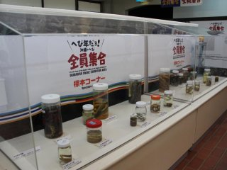 Snakes caught on islands throughout the Okinawa prefecture are on display