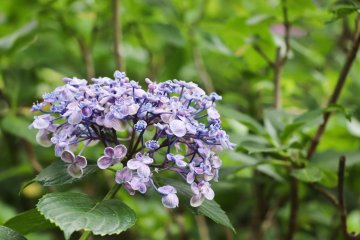 Walk along Hydrangea Path which is in bloom from June to July.