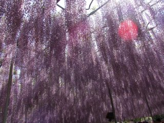 A shower of wisteria mixed in with the rays of the sun