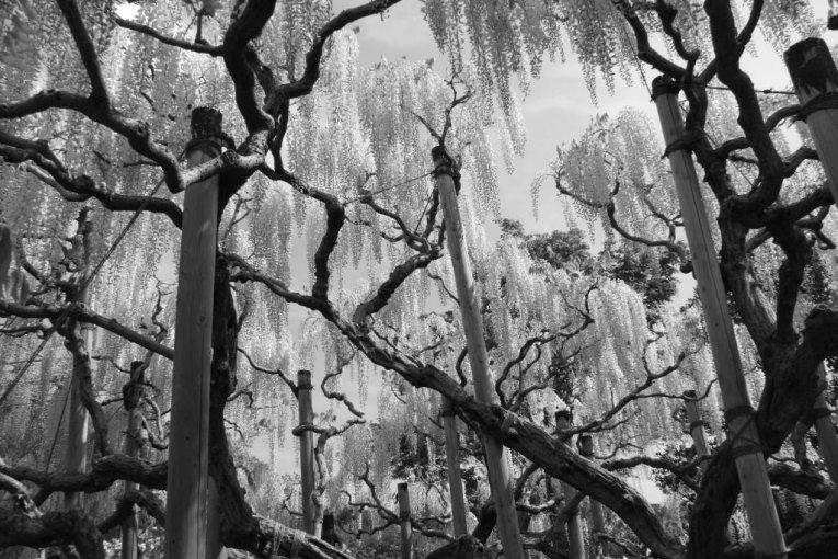 Công viên hoa Ashikaga tuyệt vời