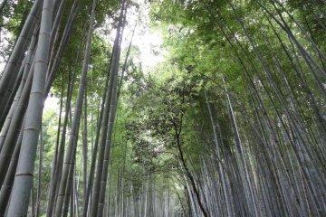The insurmountable bamboo forest of Arashiyama