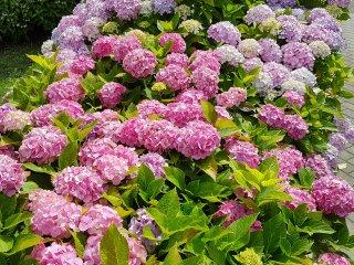ดอกไฮเดรนเยียริมน้ำนั้นสวยงดงามมาก