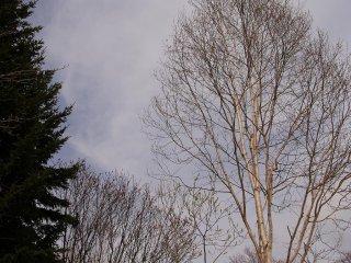 Деревья просыпаются