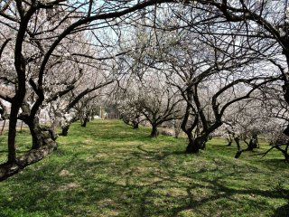 The tunnel-like interior of an orchard
