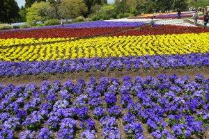 بساط من الأزهار في منتزه كوجو هانا