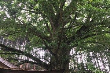 Giant Ginkgo Tree