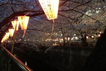 나카메구로- 사쿠라