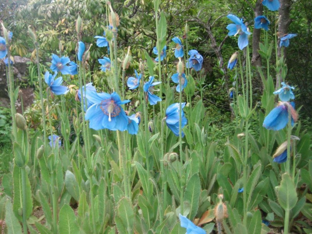 Blue poppy (meconopsis)
