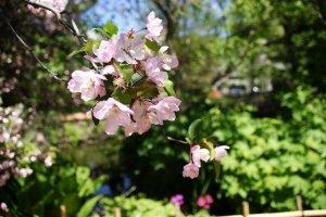 Цветение сакуры почти закончилось