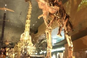 거의 완벽한 복제물! 실물화석의 티라노사우루스 입니다!