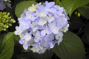 A beautifully blossoming ajisai (hydrangea)