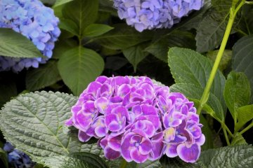 <p>A beautiful combination of purple and blue</p>