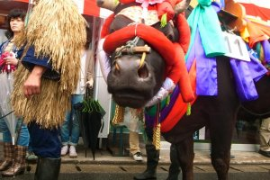 Những con bò được mang tới lễ hội