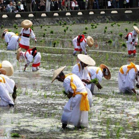 Lễ hội trồng lúa Otaue