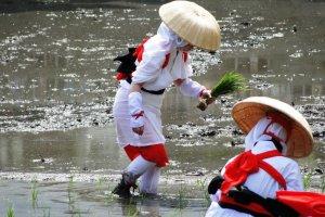 Seorang gadis menanam padi di sawah Kuil Sumiyoshi
