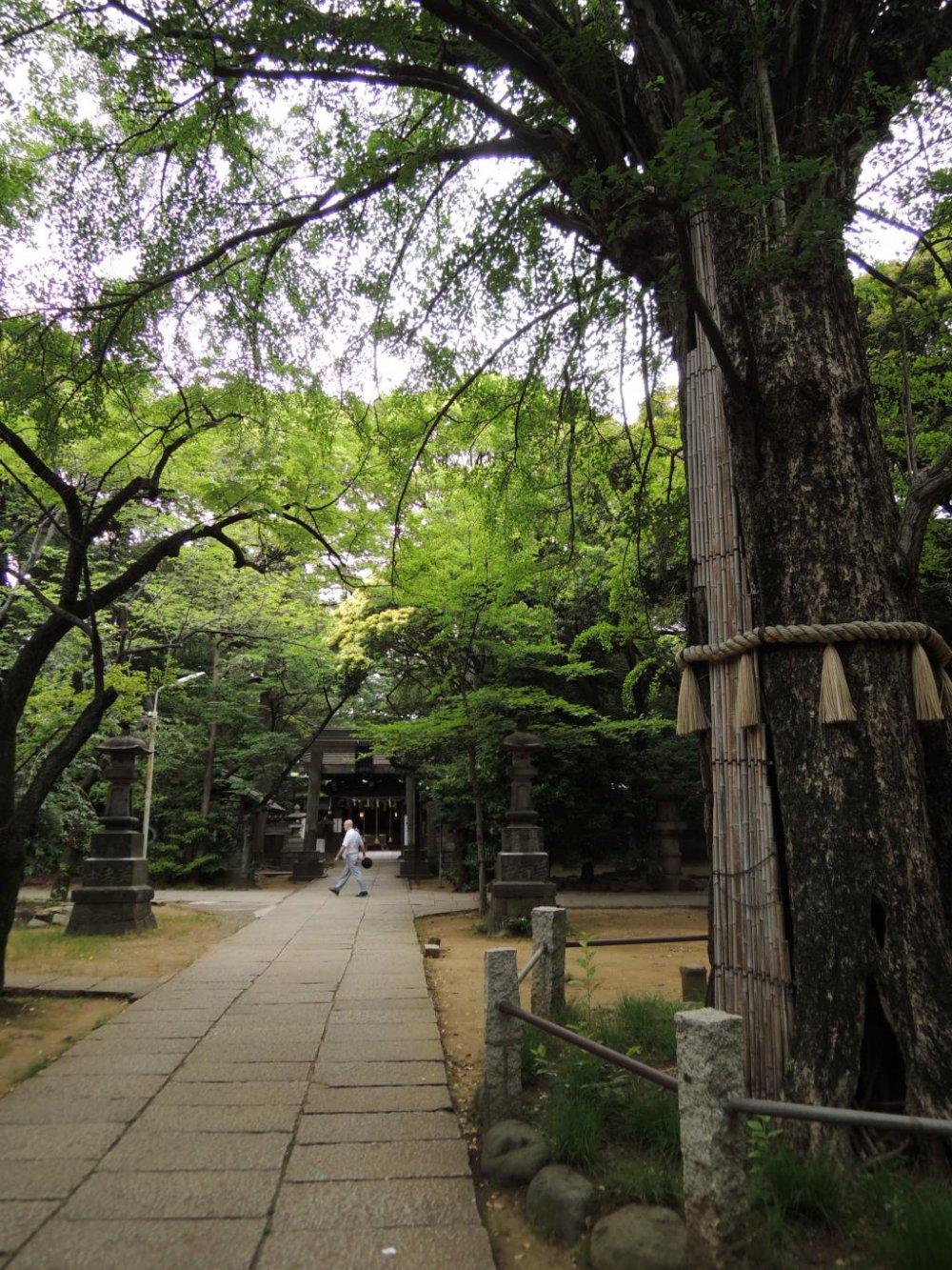 400 year old tree of Hikawa Shrine