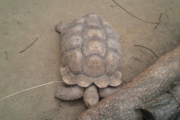 진짜 큰 거북이.! 신기해요 진짜 느려요^.^www
