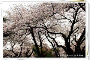 凄美的樱花树