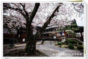 与樱花雨的邂逅,你会感叹人生吗