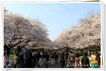 樱花树,赏花人