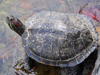 Có vẻ như chú rùa này đã tìm thấy một chỗ hoàn hảo để thư giãn.