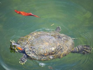 There were many turtles in the water that day. This one was enaging in some light swimming near the surface of the water.